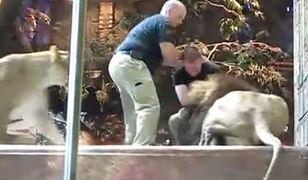 Opiekun w zoo został zaatakowany przez lwa. Do obrony mężczyzny rzuciła się... lwica! [WIDEO]