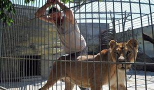 W klatce z lwami