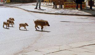 Dziki pojawiają się na ulicach Krynicy Morskiej