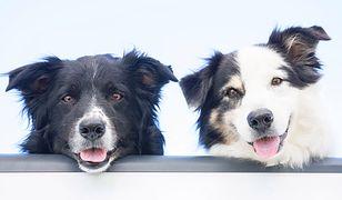 To najczęściej mylone rasy psów. Jak dobrze je znasz?