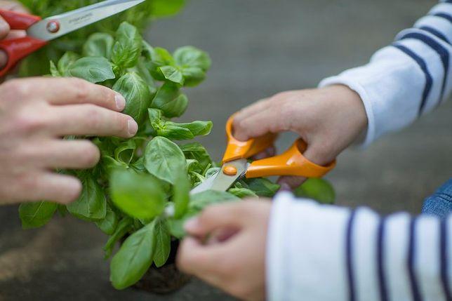 Pięknie i zdrowo – wyhoduj własnoręczne zioła