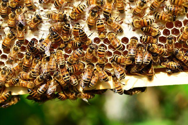Jak mówią pszczelarze, sprawcami kradzieży są zazwyczaj osoby z ich środowiska, bo żeby ukraść ul, trzeba znać się na owadach