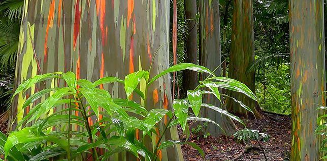 Eukaliptus tęczowy to bajeczne wielobarwne drzewo