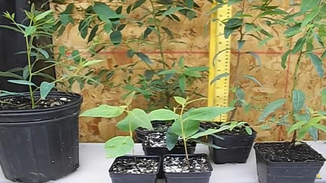 Niewielkie sadzonki eukaliptusa tęczowego