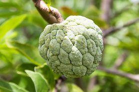 Owoc grawioli – panaceum na nowotwory