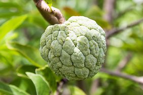 Owoc grawioli - panaceum na nowotwory