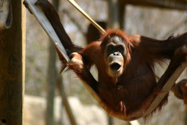"""Sąd nakazał uwolnić orangutana z zoo. """"Nie jest człowiekiem, ale ma prawa"""""""
