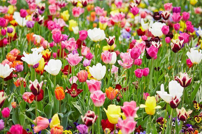 TOP 10 wiosennych kwiatów do każdego ogrodu