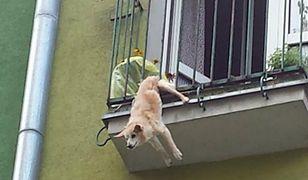 Dramatyczne sceny na Bielanach. Pies zawisł na balkonie, interweniowały służby
