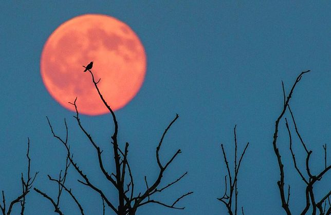 Truskawkowy Księżyc już dziś w nocy