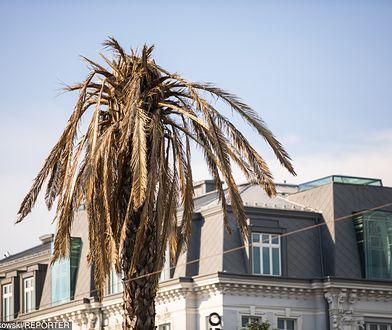 Warszawa. Uschnięta palma stała się symbolem zmian klimatycznych (zdj. arch.)