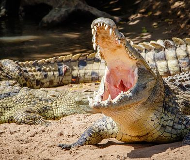 Krokodyl nilowy. Jedno z najgroźniejszych stworzeń na Ziemi