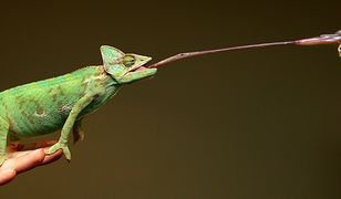 Język kameleona jest dłuższy niż jego ciało