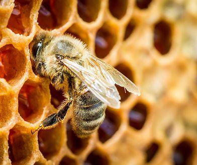 Trzy czwarte Polaków wierzy w mity dotyczące pszczół. Czego o nich nie wiemy? Zdziwisz się
