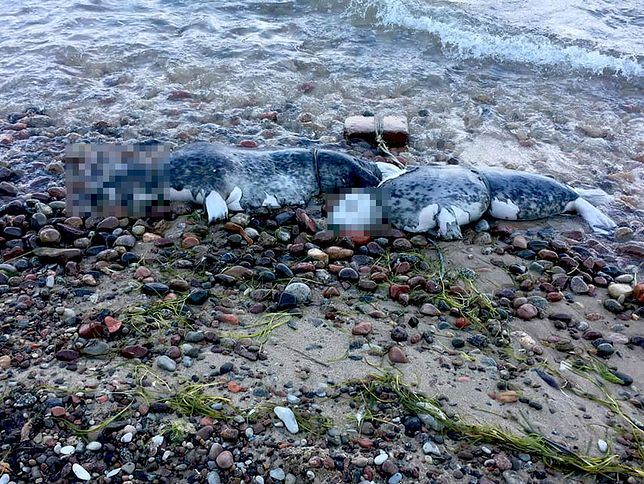 Pierwsze martwe foki znaleziono w Oksywiu w Gdańsku