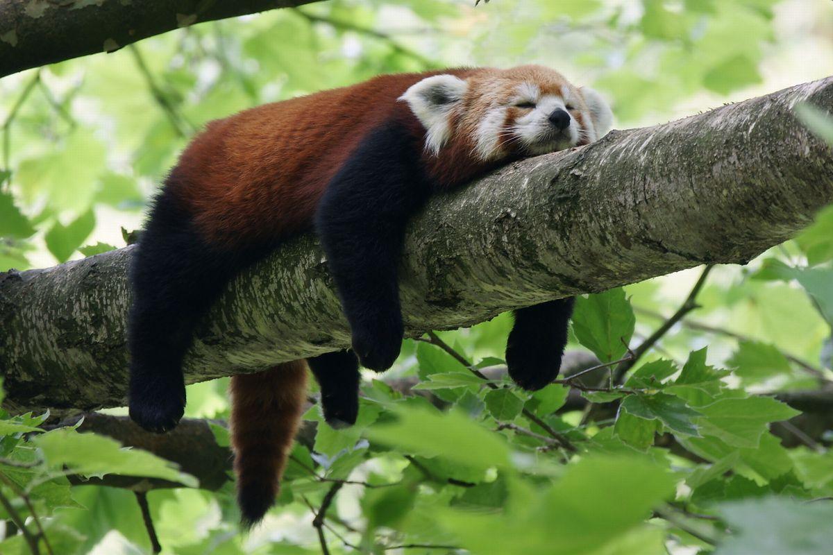 Panda ruda (zdjęcie ilustracyjne)