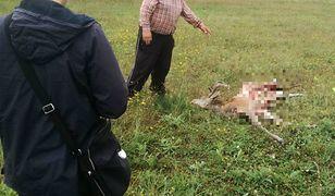 Wilki zaatakowały w Wielogłowach na Pomorzu. Wataha zagryzła jelenia w zagrodzie