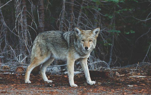 Młody wilk musiał konać przez kilkanaście dni