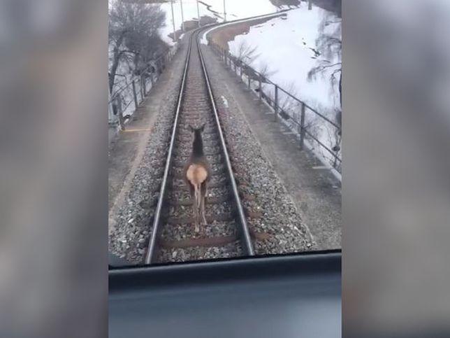 Łania weszła na tory tuż przed pociągiem. Jednak maszyniści pozwolili jej spokojnie kroczyć przed pojazdem