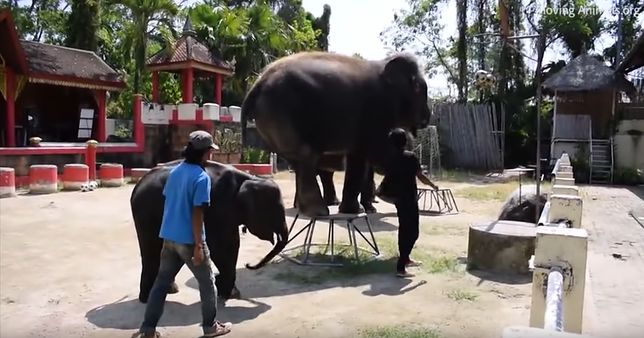 To tylko jeden z wielu przypadków znęcania się nad zwierzętami w tajskich ogrodach zoologicznych