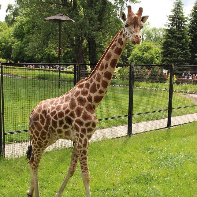 Warszawa. Do zoo przyjechał samiec żyrafy Karim