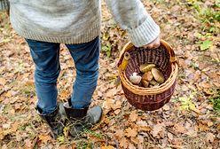 Podkarpackie. Lasy w okolicach Dukli i Rymanowa odwiedzają grzybiarze z Rumunii