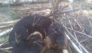 Złotówek. Przywiązał psa w lesie. Zwierzę nie miało szans