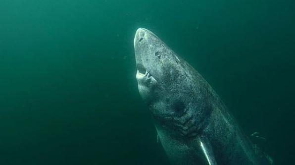 Rekiny polarne to jedne z najbardziej długowiecznych zwierząt