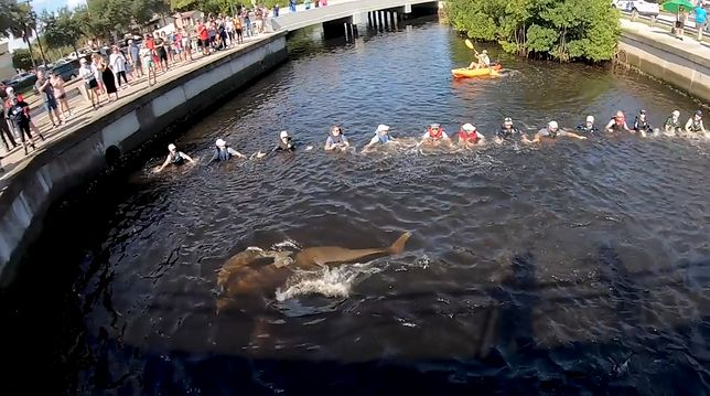 Utworzyli ludzki łańcuch. Uratowali delfiny, które wpłynęły do kanału na Florydzie