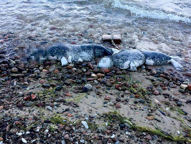 Kolejna martwa foka nad Bałtykiem. To już szósta
