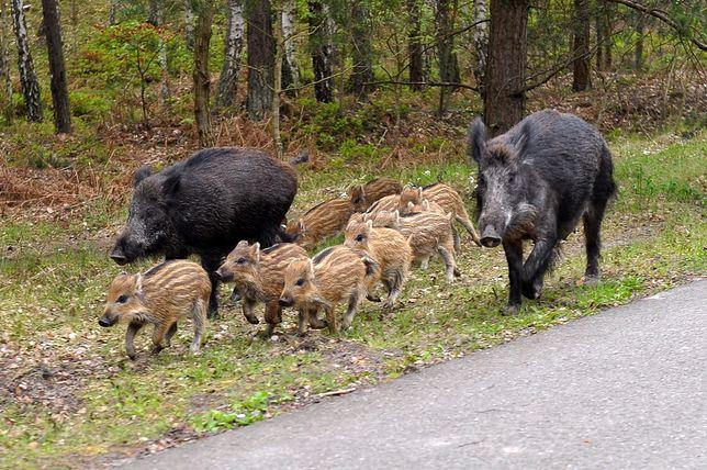 Małe dziki pozbawione opieki matki są skazane na śmierć.