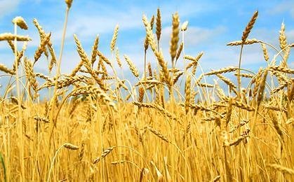IUNG: deszcze i upały zagrożeniem dla upraw zbóż i rzepaku