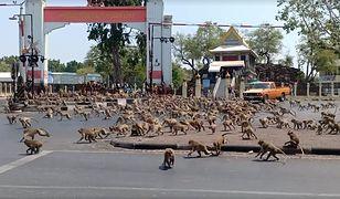 Koronawirus przepędził turystów. Setki małp biją się o jedzenie w Tajlandii