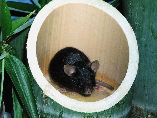 Mysz wyhodowana bez ojcowskiego nasienia przez naukowców z The Tokyo University. (zdjęcie ilustracyjne)
