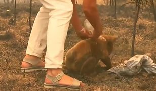 Australia. Uratowana koala nie przeżyła