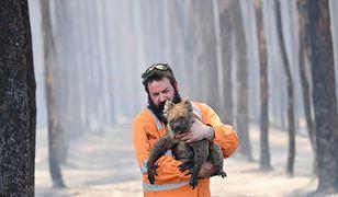 Australia. Ratownik przyrody Simon Adamczyk z koalą, którą ocalił z płonącego lasu niedaleko Cape Borda