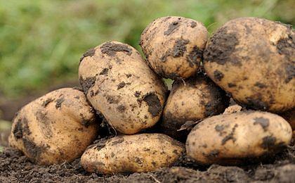 Białoruś wprowadza zakaz importu ziemniaków z UE