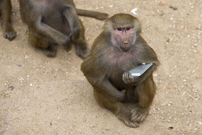 Małpa z telefonem. Zdjęcie poglądowe