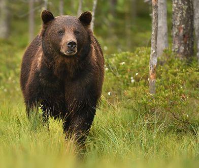 Gorce. Na zwłoki martwego młodego niedźwiedzia natknął się grzybiarz