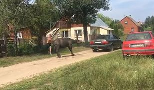 Przywiązali konia do samochodu i bili go. W minutę dostał 21 batów