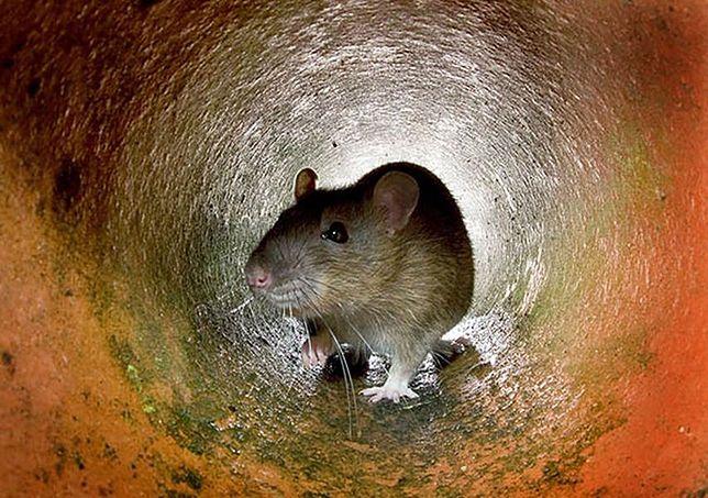 """Szczury na Targówku. """"Są nawet na placach zabaw"""""""