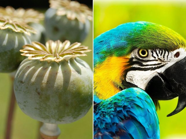 Papugi notorycznie atakują uprawy maku
