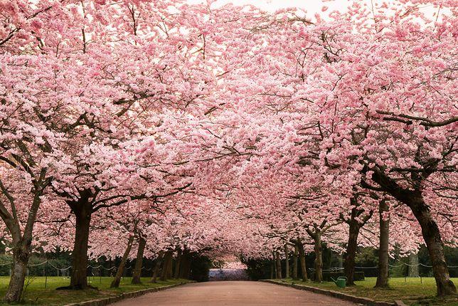 Kwitnące drzewa wiśni w Kopenhadze