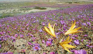 Rośliny pustynne przeżywają dzięki ukrytym głęboko w ziemi nasionom, które kiełkują i kwitną po odpowiednim nawodnieniu
