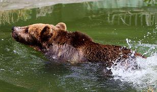 Niedźwiedź był wycieńczony (zdjęcie ilustracyjne)