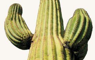 Kaktusy - giganty. Królowie pustyni