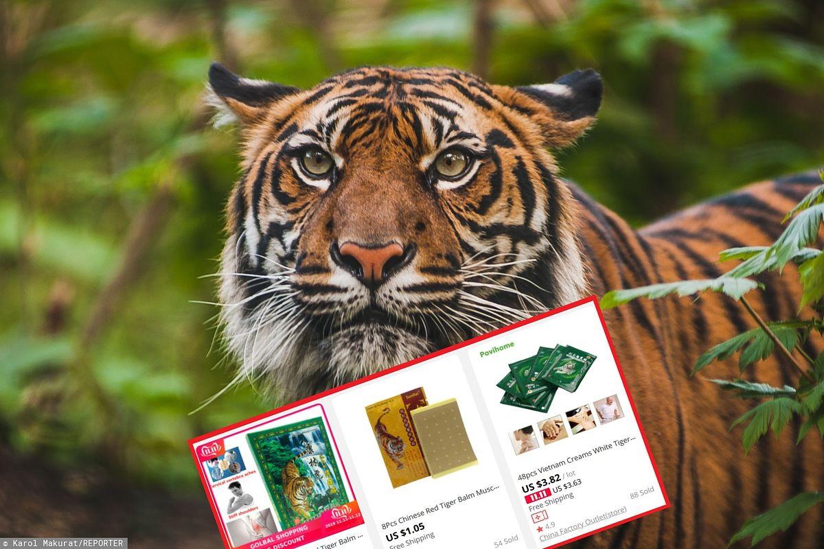 Sproszkowane części tygrysa w produktach z Chin. Nielegalny i przerażający handel