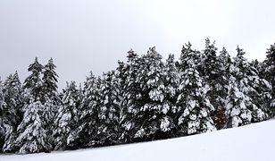 Złodzieje ukradli z lasu 13 choinek