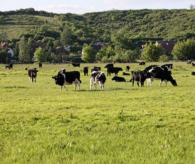 Stado dzikich krów w rezerwacie przyrody Santockie Zakole