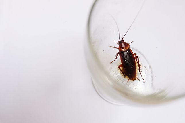 W pokoju hotelowym rodzina znalazła karaluchy (zdjęcie ilustracyjne)